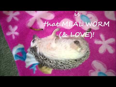 Marty Hedgehog Fat delicious hedgehog rolls over &