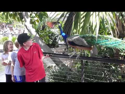 Peacock Attack at San Diego Zoo