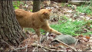 [Snapping Turtle vs. Cat!? ] Video