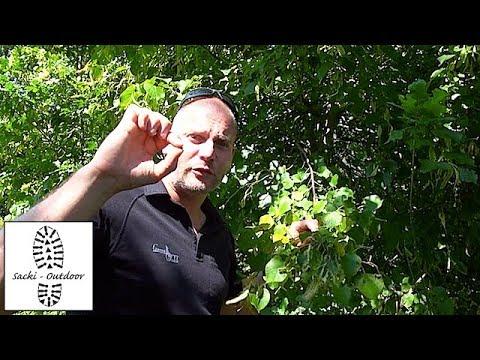 Sacki-Survival Teil 30 - Essbare Früchte der Linde