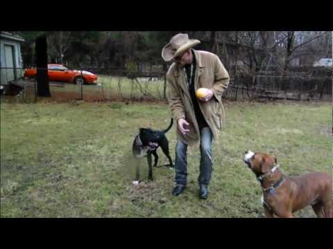 0 Pit Bulls Controlled Using Hand Gestures   DOG INTERVENTION Dog Whispering BIG CHUCK MCBRIDE