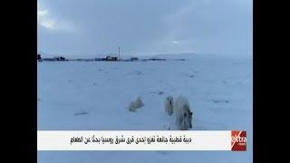 دببة قطبية جائعة تغزو إحدى قرى شرق روسيا