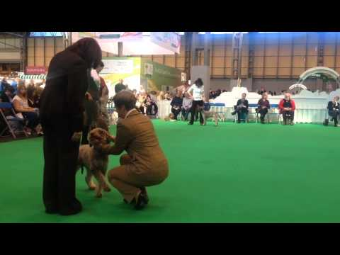 Lagotto Romagnolo Males at Crufts 2014