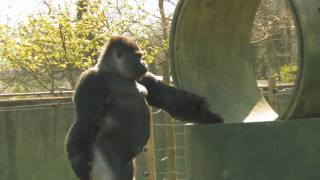 AMBAM The Gorilla That Stands, Walks, Swaggers & TWERKS