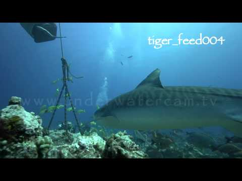 tahiti tiger sharks reel no 2
