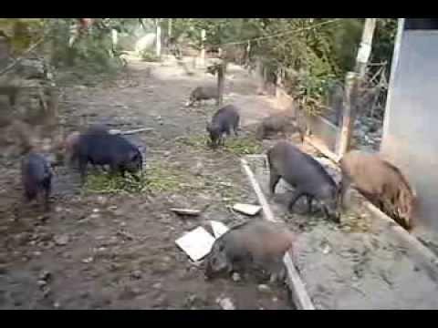 Heo rừng nuôi ở miền Tây Nam Bộ-Bạc Liêu- quê hương hoa hậu Thu Thảo