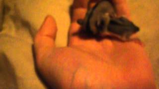Sugar glider had more baby joeys!