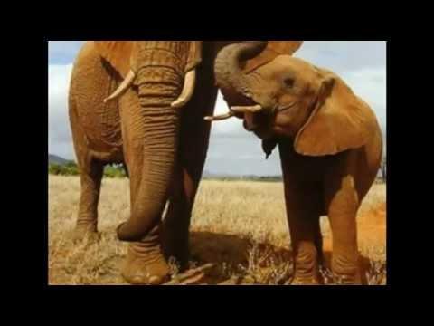 Video Hikmah Keajaiban Penciptaan Gajah oleh Harun Yahya