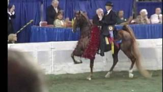 Five Gaited, American, Saddlebred, World Champion, Boucheron