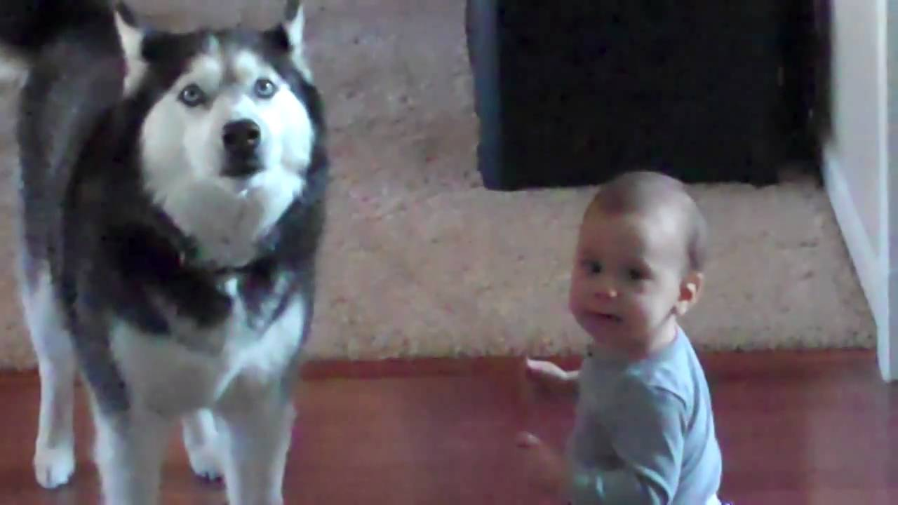 Cute banget, Anjing Husky Ini Menirukan Bayi Lucu Bernyanyi