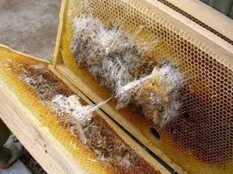 Why Beekeepers Bees, Honey Bees have Wax Worm Damage no Treatment necessary. Also personal message