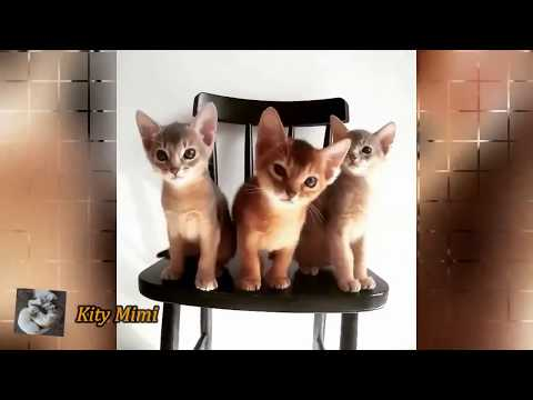 Kity Mimi - Funny Cat Meong Meowing