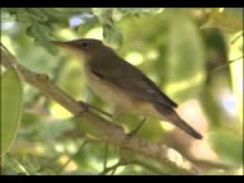 Sam Abdul - Marsh warbler