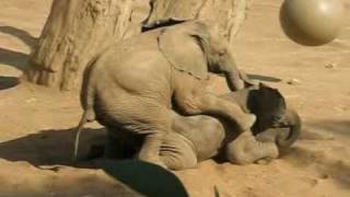 Baby Elephant Mating Gone Wrong - 05/08