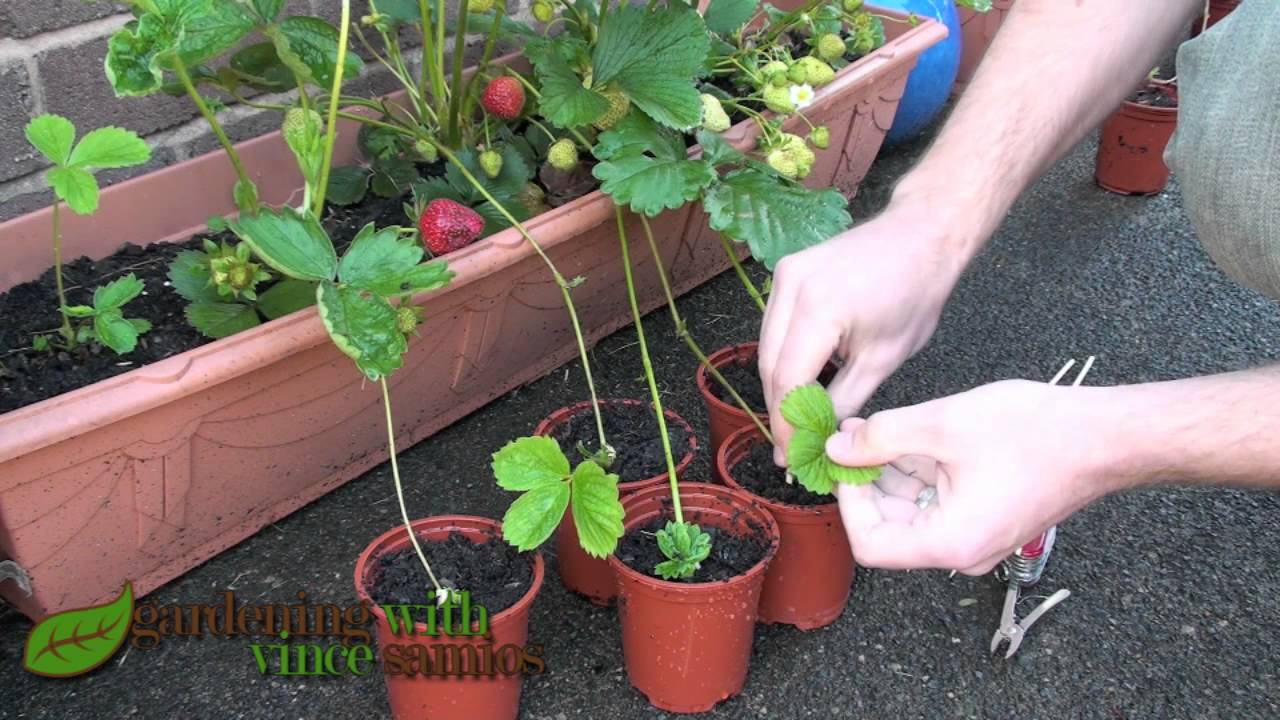 Strawberry plant runners reproduction
