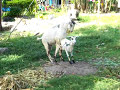Goats In Action 2