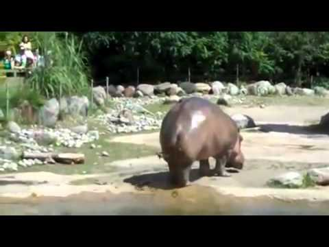 longest fart ever funny hippo   youtube
