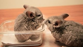 chinchilla facts picture