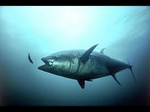 Câu cá ngừ đại dương khổng lồ