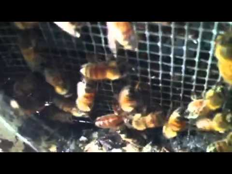 Beekeeping finding queen under screen bottom