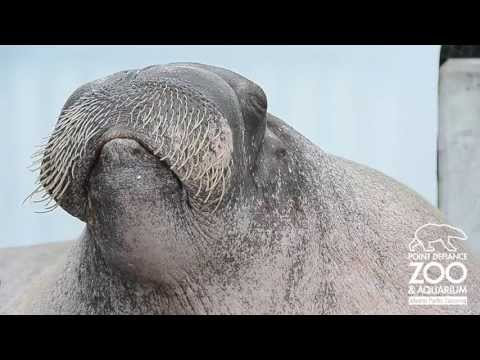 E.T. the Walrus practices his vocalizations at Point Defiance Zoo &amp; Aquarium