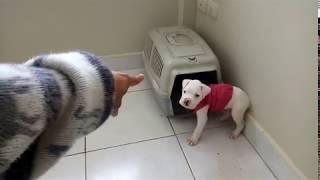 Cachorro boxer enojado