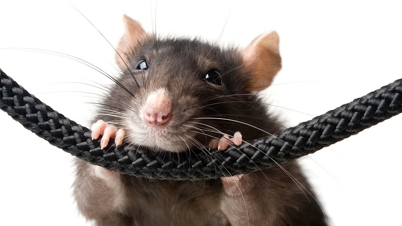 Best Toys For Rats Pet Rats Youtube