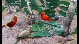 Chưa Bao Giờ Bẫy Chim Cu Gáy Lại Đơn Giản Đến Như Vậy Chỉ 5 Phút Xong Với 3 Khúc Cây.Best Bird Trap