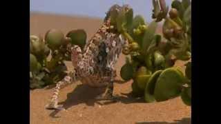 Chameleoni - púštni draci