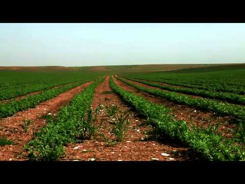 Stock Footage of a field with green rows of beans in Israel.