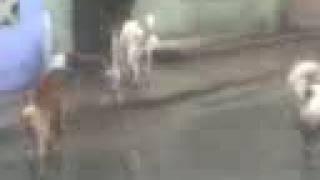 Pelea De Perros Sangrienta Pitbull