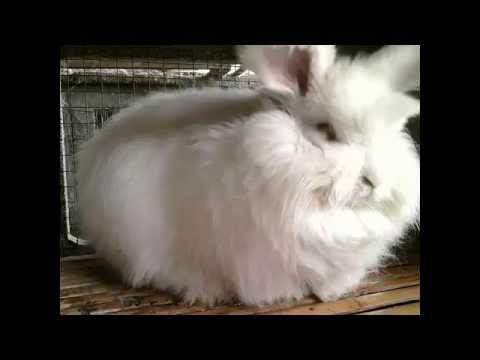 ternak kelinci video kelinci anggora
