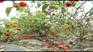 Cultivar Aji (2)