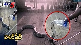 Strange : Summer Effect On King Cobra : Thirsty King Cobra..