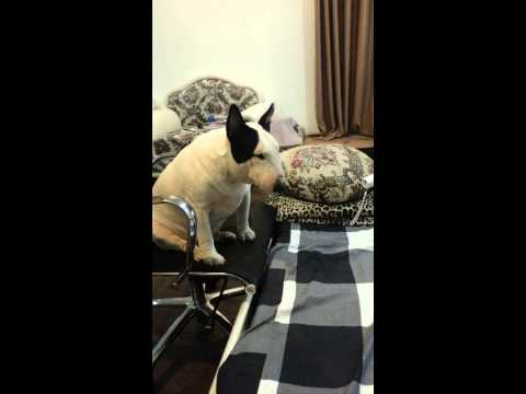 bull terrier am muu len giuong