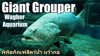 Giant Grouper, Waghor Aquarium