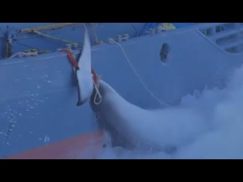 Dramatic whaling footage: Sea Shepherd ships plan to halt Japanese fleet