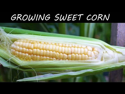 Growing Triple Crown Hybrid Corn | EZ and Delicious!