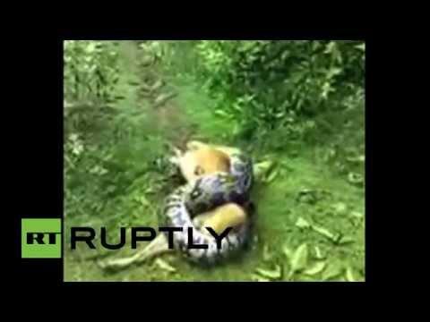 India: Un perro sobrevive al ataque de una pitón