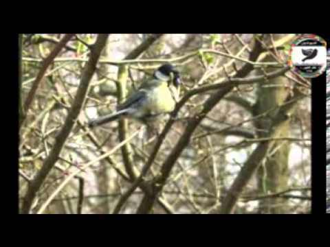 Sam Abdul - Great Tit Parus major)