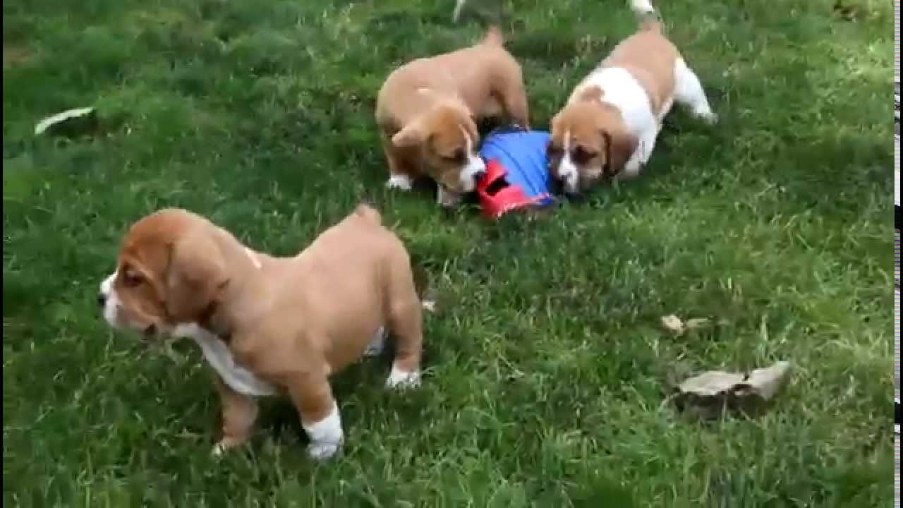 Beabull Puppies For Sale - YouTube