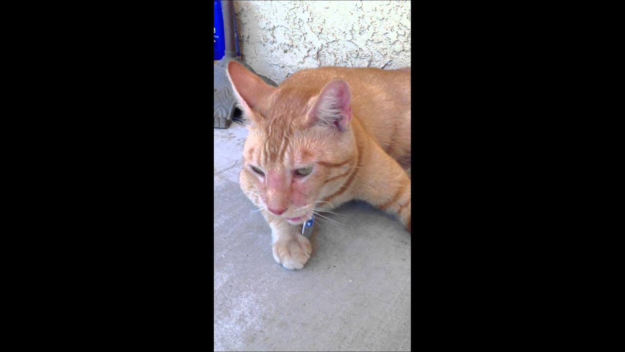 cat urine infection treatment