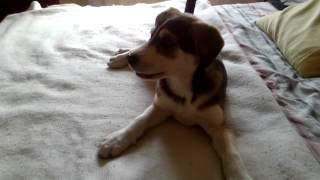 Mi Cachorro, Cruza De American Pitbull Terrier Y Husky