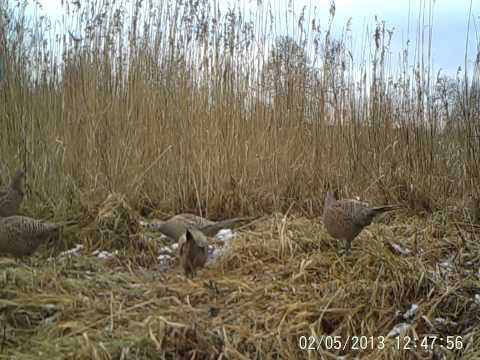 Filmik wykonany przy pomocy fotopułapki ECOTONE SGN 6210MHD /  Movie from digital camera trap ECOTONE SGN 6210MHD - Pheasant females in the reed