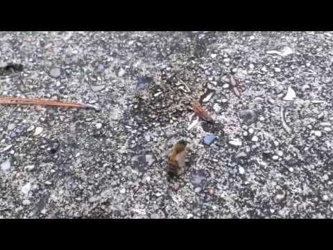 Deranged Honeybee - Colony Collapse Disorder