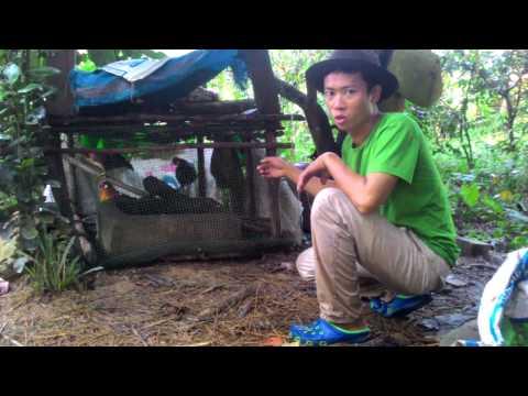 Cách bẫy gà rừng đơn giản - lưới bẫy gà