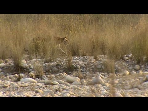 Maneating tigress sparks terror in India