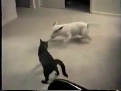 Crazy Cat Attacking Spuds Dog