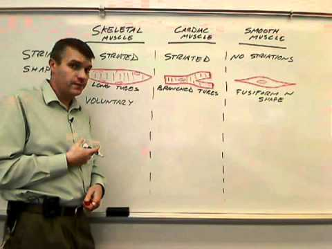 Compare and contrast types of muscle tissue-cells.wmv