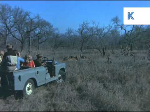1970s South Africa, Safari Party Watch Lions Eat Prey, 35mm Archive Footage
